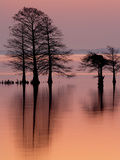 Cypress Trees Reflect on the Still Water before Sunrise