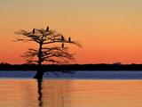 Cormorants  Phalacrocorax Species  Roosting in a Cypress Tree