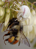 Female Goldenrod Spider (Misumena Vatia) Eating a Red-Tailed Bumble Bee (Bombus Ternarius)  Waterto