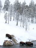 American Bison (Bison Bison) Crossing a River in Yellowstone National Park in Winter  UNESCO World