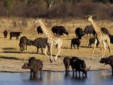Giraffe and Cape Buffalo Drinking at Nyamandlove Pan  Hwange National Park  Zimbabwe