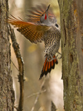 Northern Flicker Searching for Food in Old Tree Trunk in Whitefish  Montana  Usa