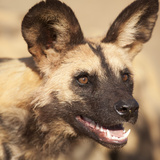 Portrait of an African Wild Dog  Harnas Wildlife Foundation and Guest Farm  Harnas  Namibia