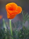 Poppy Close Up  Antelope Valley Near Lancaster  California  Usa