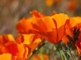 Poppies  Antelope Valley Near Lancaster  California  Usa