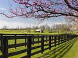 Redbud Trees in Full Bloom  Lexington  Kentucky  Usa