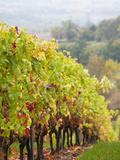 Vineyards in Autumn  Ste-Croix  Tarn Department  Midi-Pyrenees Region  France