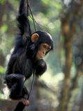 Young Chimpanzee Male  Gombe National Park  Tanzania