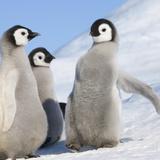 Emperor Penguin (Aptenodytes Forsteri) Parent with Chick on Ice  Snow Hill Island  Antarctica