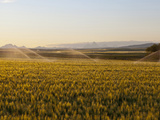 Mid-Growth Wheat Being Irrigated with Teton Range in Background Near Rexburg  Idaho  Usa