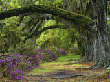 Coast Live Oaks and Azaleas Blossom  Magnolia Plantation  Charleston  South Carolina  Usa