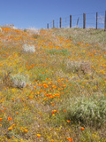 Poppy and Goldfield Flowers with Fence  Antelope Valley Near Lancaster  California  Usa