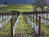 Santa Barbara Wine Country  Santa Ynez  Southern California  California  Usa