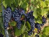 Lush Grapes Ready for Harvest in Vineyard  Near Pollzano  Chianti Region  Italy