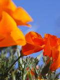 Poppies and Blue Sky, Antelope Valley Near Lancaster, California, Usa Papier Photo par Jamie & Judy Wild