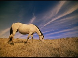 A Young Wild Mustang (Equus Caballus) Grazing