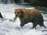 A Grizzly Bear (Ursus Arctos Horribilis) Catches a Red Salmon