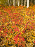 Colorful Aspen Leaves and White Aspen Tree Trunks in Autumn