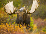Moose Bull Emerging from Bushes in Fall Tundra During Rut