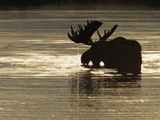 A Bull Moose Feeds on Underwater Vegetation in a Glacial Kettle Lake