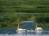 A Pair of Trumpeter Swans Swim with their Cygnets