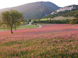 Italy  Umbria  Campi  a Field of Sainfoin Outside the Small and Ancient Village of Campi  Near Norc