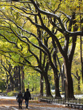The Mall and Literary Walk with American Elm Trees Forming the Avenue Canopy  New York  USA