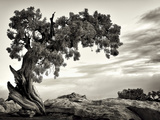 USA  Utah  Dead Horse State Park  Juniper Tree