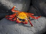 Ecuador  Galapagos  a Brightly Coloured Sally Lightfoot Crab Skips over the Dark Rocks