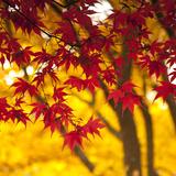 Autumn Foliage of Japanese Maple (Acer) Tree  England  Uk