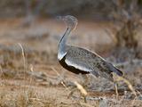 A Buff-Crested Bustard in Tsavo East National Park