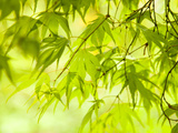 Japanese Maple (Acer) Tree in Springtime  England  UK