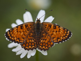 Italy  Umbria  Norcia  Orange Butterfly on a Daisy