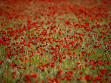 Italy  Umbria  Norcia  Poppies Growing in Barley Fields Near Norcia