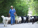 Italy  Umbria  Campi  a Shepherd Bringing His Flock Down from the Hills  with the Help of His Dogs
