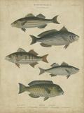 Ichthyology III