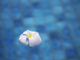 Frangipani Flower in Pool  Ubud  Bali  Indonesia