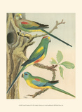 Cassell's Parakeets II