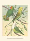 Cassell's Parakeets I