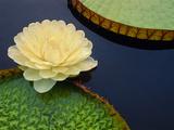 Giant Water Lily  Pantanal  Brazil
