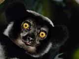 Indri Male  Madagascar