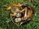 Orphaned Bornean Orangutans, Sepilok Reserve, Sabah, Borneo Papier Photo par Frans Lanting