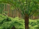 Tree Ferns in Eucalyptus Forest, Ferntree Gully National Park, Australia Papier Photo par Frans Lanting