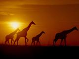Giraffes at Sunset, Okavango Delta, Botswana Papier Photo par Frans Lanting