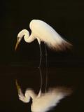 Grande aigrette dans le lagon, Pantanal, Brésil (Photographie encadrée, Oiseau) Papier Photo par Frans Lanting