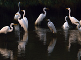 Great Egrets in Lagoon, Pantanal, Brazil Papier Photo par Frans Lanting