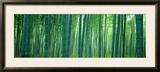 Bamboo Forest  Sagano  Kyoto  Japan
