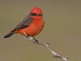 Vermillion Flycatcher (Pyrocephalus Rubinus) Perched on a Branch  Texas  USA