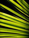 Leaf of Panama Hat Palm (Carludovica)  Costa Rica