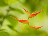 Heliconia Flowers in Rainforest  Costa Rica